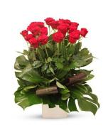 Elegant Roses in Pot